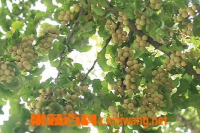 果蔬百科白果